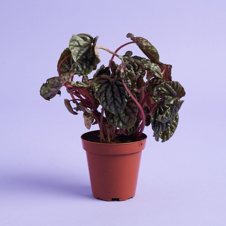 Potted Peperomia